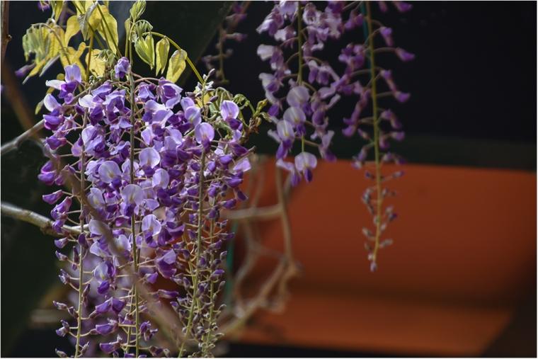 Flores Glicinias DSC_0085
