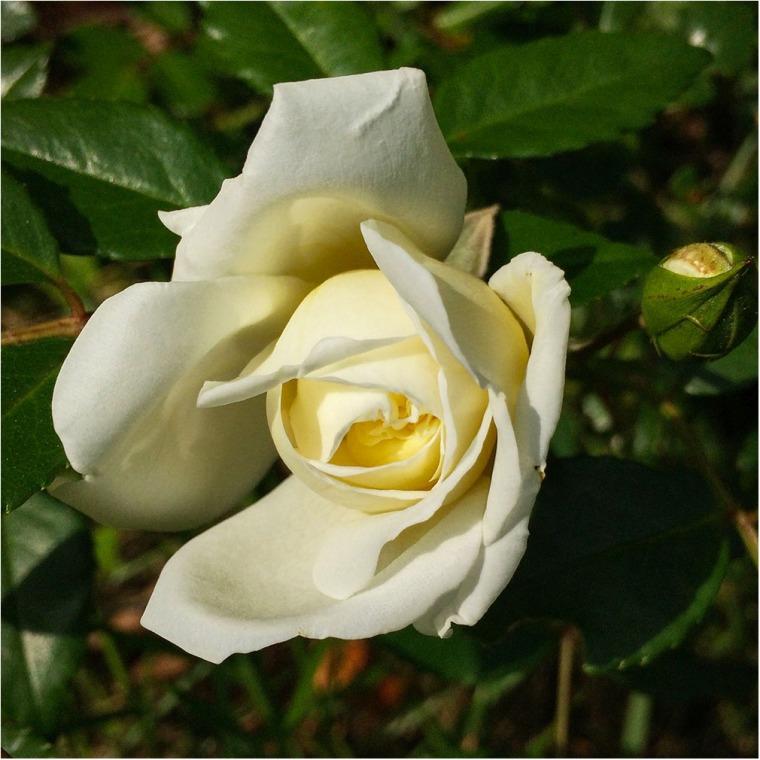 Flores Rosa Blanca IMG_1295 copia